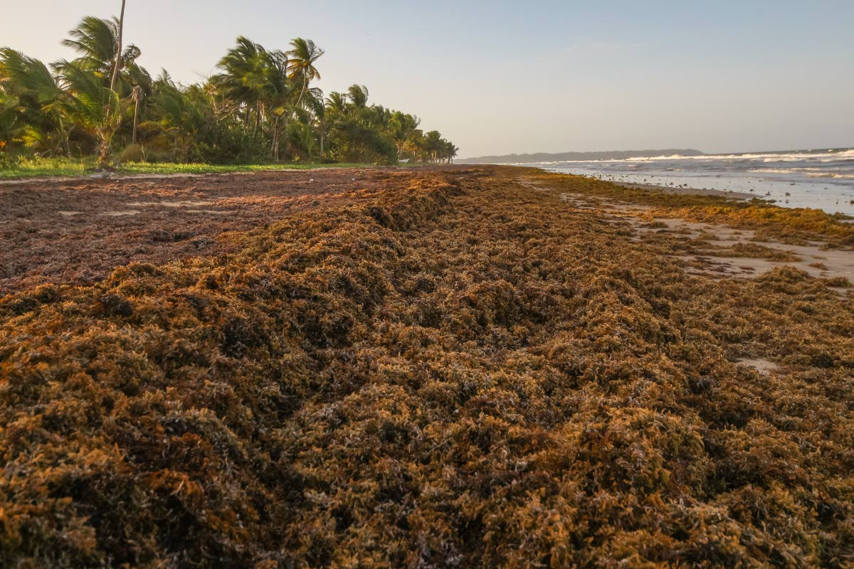 Sargassum rotting on a beach in Tobago. Credit: Jeff Mayers