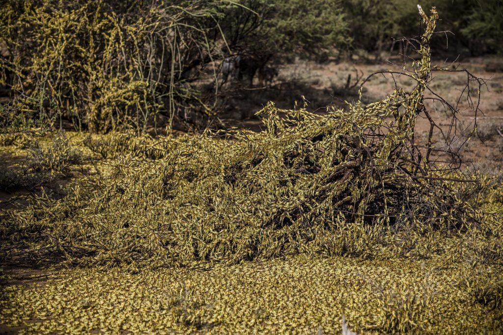 Locusts image 3