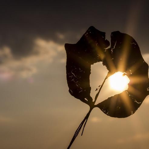 Sun shining through a dried leaf