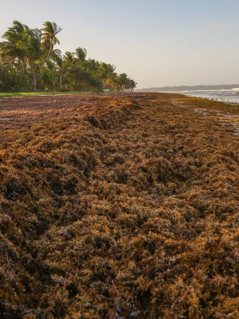 Sentinel-3 spots Sargassum seaweed